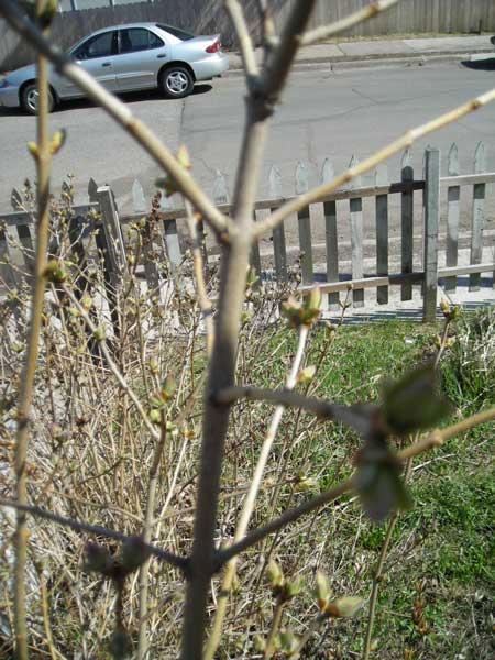 My Lilac Bush 4.28.09
