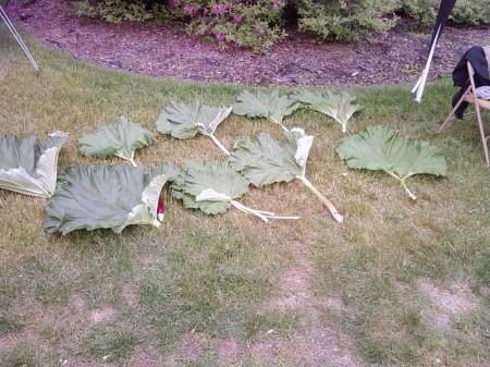 Rhubarb Stalk and Leaf Measuring