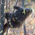 Porcupine Feasting at Jay Cooke State Park