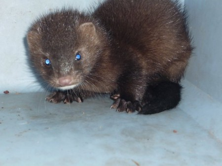 Mink, or Marten -- I've been told both -- with a spinal injury