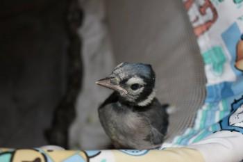 Blue Jay looks expectantly
