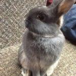 New Education Rabbit at Audubon Center for the Northwoods