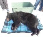 Black Bear Update