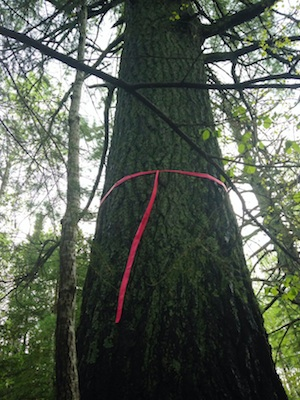 Giant white pine marked for removal?