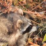 Raccoon Release