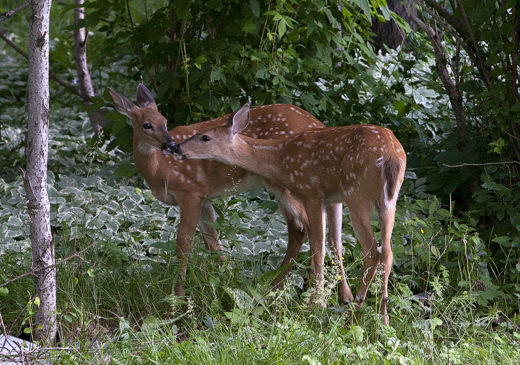 IMG_4858_fawns