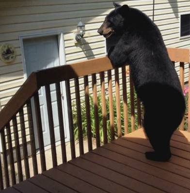 Bear Standing on porch in Proctor
