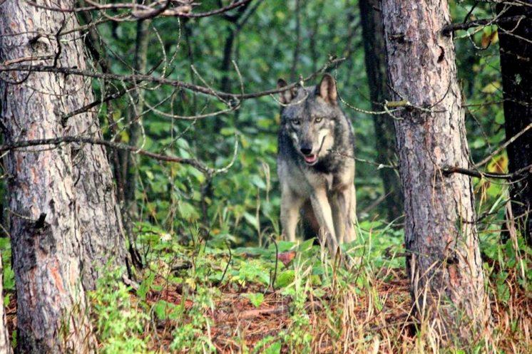 Grey Timberwolf in Duluth - photo by Ken Greshowak