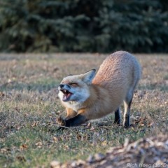 Red-Fox-Park-Point-4