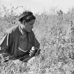 Picking Blueberries near Little Fork in 1937