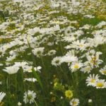A Ride Through a Field of Daisies