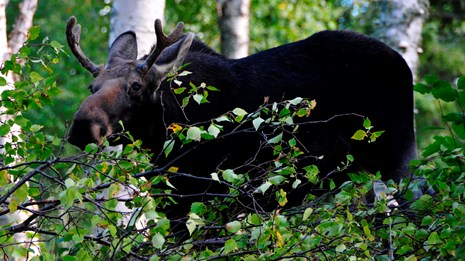 Isle Royale Moose