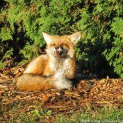park-point-recreation-area-sunrise-red-fox