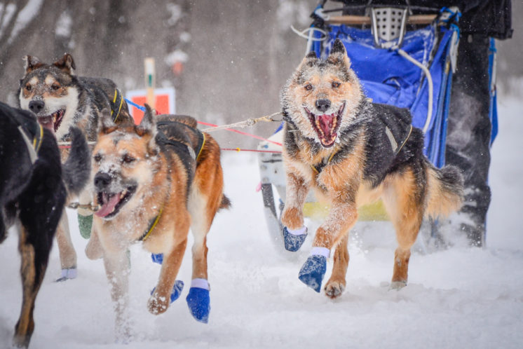 I just love the joy in this dog's face. Mushers like to tell you that their dogs love pulling, and to me, this photo really shows exactly what they're talking about. This was taken during the 2014 John Beargrease Sled Dog Marathon.