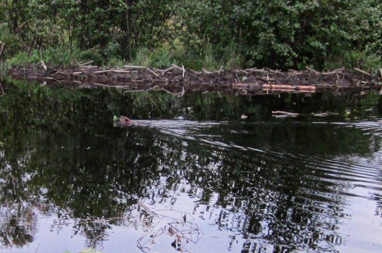 110923-beaver-shot