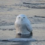 Videos: This Week in Duluth Snowy Owl Rescues