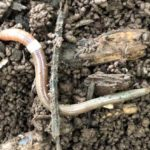 PDD Video Lab: Invasive Jumping Worm