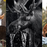 Selective Focus: Moose