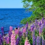 Selective Focus: Lupines