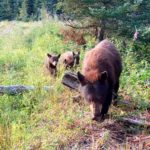 Bear and Three Cubs Messing with Trail Camera